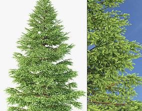 Picea Rubens No 1 3D