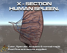 3D animated Cross Section Human Spleen