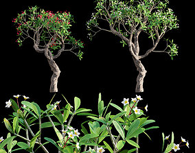 3D Plumeria rubra - Frangipani Tree 05