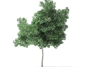 forest Boxelder Maple Tree 3D Model 6m