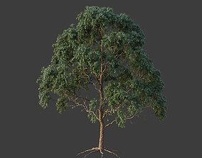 XfrogPlants Grey Gum - Eucalyptus Punctata 3D model