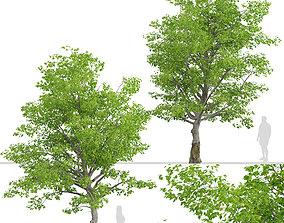 3D model American Beech or Fagus grandifolia Tree - 2