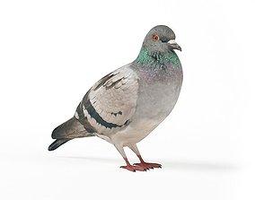 Black Striped Gray Pigeon 3D model