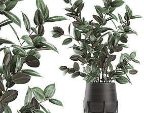 Ficus tree in flowerpots 629 3D