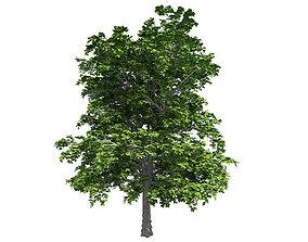 European Linden Tree 3D asset