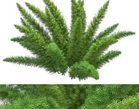 3D model Asparagus Densiflorus Meyersii
