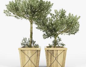 3D model Olea Europaea box