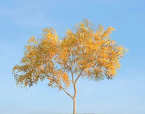 Mature Birch Tree 3D
