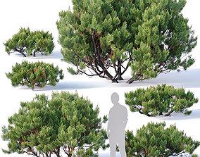 3D model Pinus mugo Nr2 H60-260 cm Six tree set
