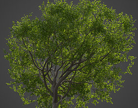 3D model 2021 PBR Indian Sandalwood Collection - Santalum