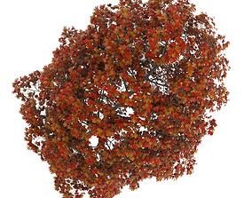 Acer Platanoides 8M Autumn 3D model