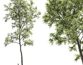 Robinia pseudoacacia 04 H17m 3D plant