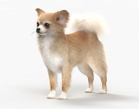 3D model Chihuahua HD