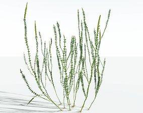 EVERYPlant Hollow-Stemmed Sphenophyllum SINGLE --1 3D