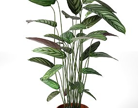 Calathea Bachemiana in Pot 3D model
