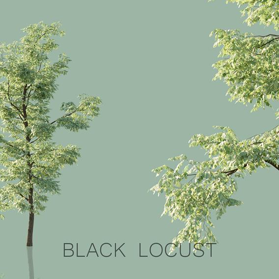Black Locust Trees