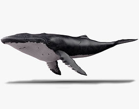 Humpback Whale - Megaptera Novaeangliae 3D asset