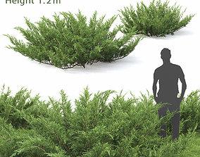 3D coniferous Juniperus Sabina 01