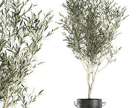 Decorative olive tree in a black flowerpots 648 3D