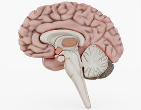 3D model Human Brain Visualization