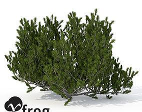3D model XfrogPlants Mugo Pine