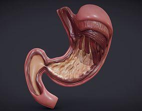 3D asset Stomach Cross Section