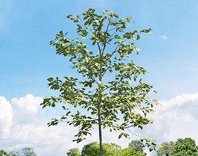 Quercus shumardii 019 v3 AM136 3D
