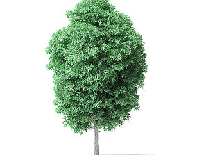 American Basswood Tree 3D Model 8m american