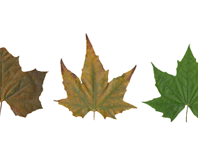 3D Sycamore Leaf Scanned Texture Pack - 18 Textures