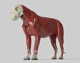 Lion Anatomy feline 3D model