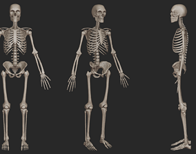 skeletal Human Skeletal System High Poly 3D model