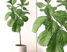 3D model Ficus Lyrata