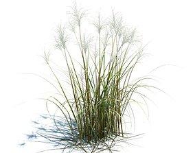 Amur Silver Grass 3D model