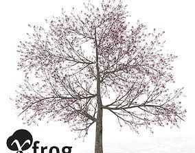 XfrogPlants Pissardii Cherry Plum 3D model