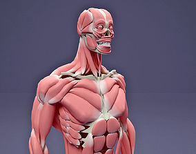 anatomy 3D Muscular and Skeletal Systems Of Human Body