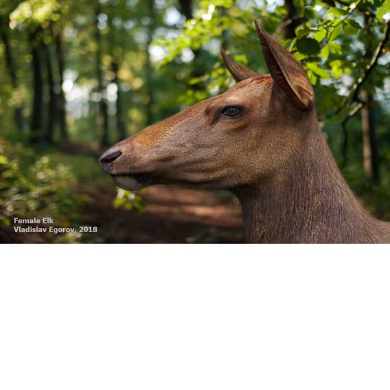 Female Elk