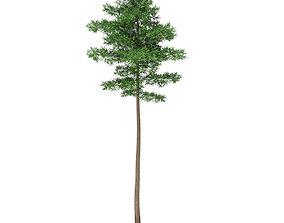 Scots Pine Tree Pinus sylvestris 24m 3D