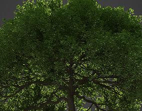 2021 PBR English Oak Collection - Quercus Robur 3D model