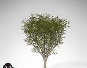 XfrogPlants Japanese Zelkova 3D model