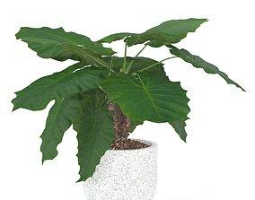 grow Alocasia macrorrhiza 3D model