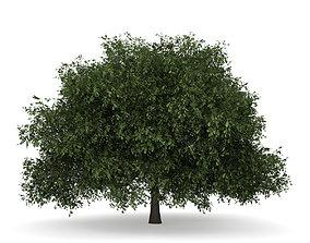 English Oak 1 Quercus robur 3D model