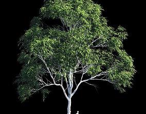 Eucalyptus 10 3D model