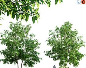 Michelia alba-White champaca-Michelia longifolia 3D model