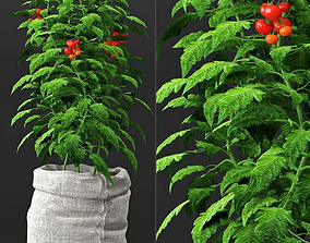 Tomato plant in pot 3D