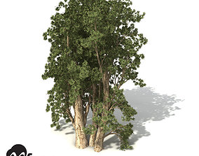 XfrogPlants Broadleaved Paperbark 3D
