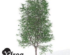XfrogPlants Kentucky Coffee Tree 3D