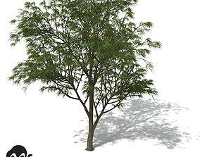 XfrogPlants Horsetail Casuarina 3D