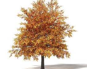 Common Oak 3D Model 4m