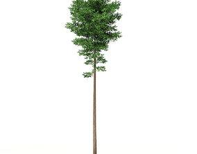 3D Scots Pine Tree Pinus sylvestris 29m