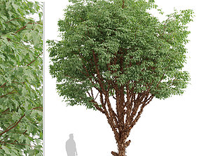 Set of Paperbark Maple or Acer Griseum Trees - 3D model 1